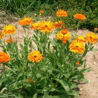Calendula_officinalis3