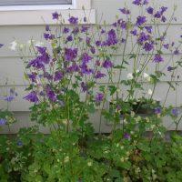 purplecolumbine