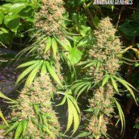 ecss marijuana seeds