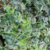 abc cannabis marijuana leaf morphology