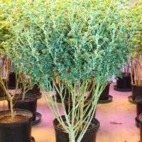crazy mutant cannabis plant abc