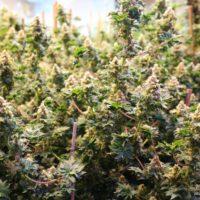 mutant marijuana plants