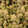 australian bastard cannabis mmj seeds