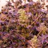 find rare unique marijuana seeds