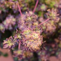 abc australian bastard cannabis bred by annunaki genetics