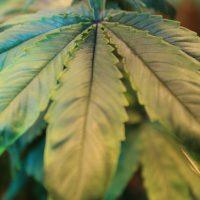 non-serrate cannabis leaf