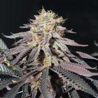 buy halo marijuana seeds
