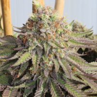 white lavender fem seeds sweet & sultry